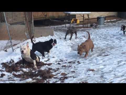 Carolina bully farms snow day 2017 part 3