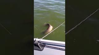 Сом на квок или с легким паром, рыбалка с квоком!!!