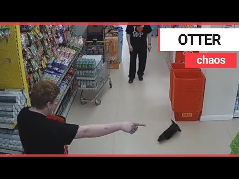 Otter Was Caught On CCTV Wandering Around A Supermarket | SWNS TV