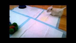Snowie (westie/west Highland Terrier) Barking - 03/30/13