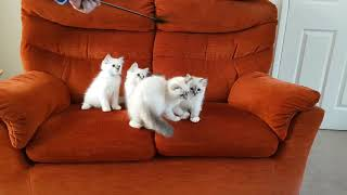 Birman Kittens  From birth to new homes VLOG #23