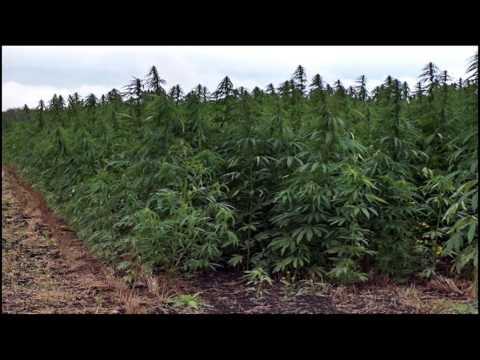 Tribute Marihuana Cannabis - Ras matthew (Ganja in my brain) & (Crying)