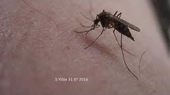 Piereekö hyttynen