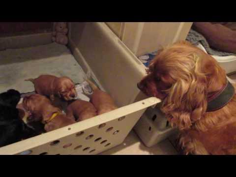 Cocker Puppies and Mum