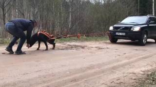 Strongest rottweiler i the world pulling a jeep