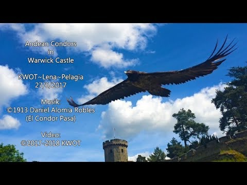 Andean Condors in Warwick Castle (ENG) K+L+P (27/6/2017)
