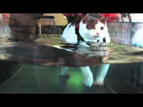 NEW: 8/26/13 Buddha the Cat on the Water Treadmill