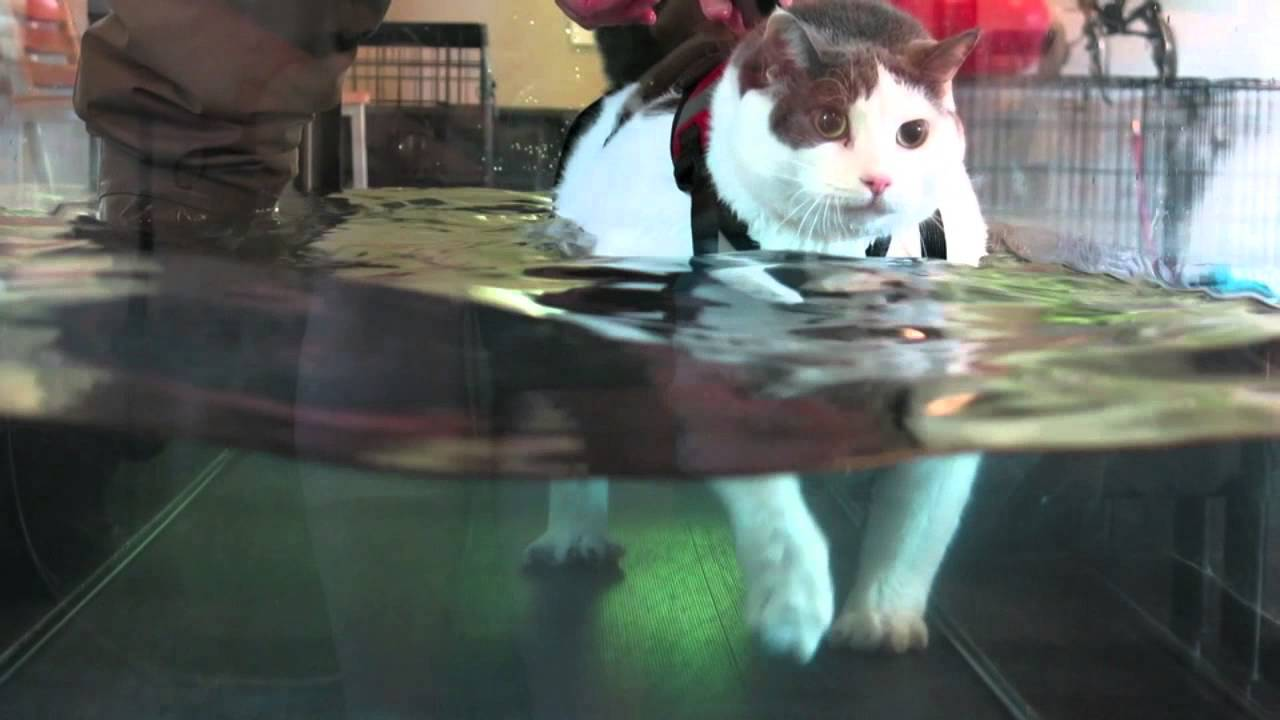 NEW 8/26/13 Buddha the Cat on the Water Treadmill