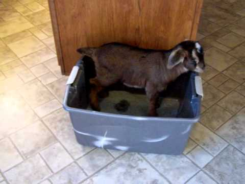 House Broke Goat Kid
