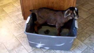House Broke Goat Kid