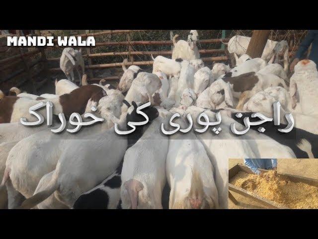 370 | RAJAN PORI KI KHORAAK | GOAT FARMING PAKISTAN - BAKRA MANDI 2019 / 2020