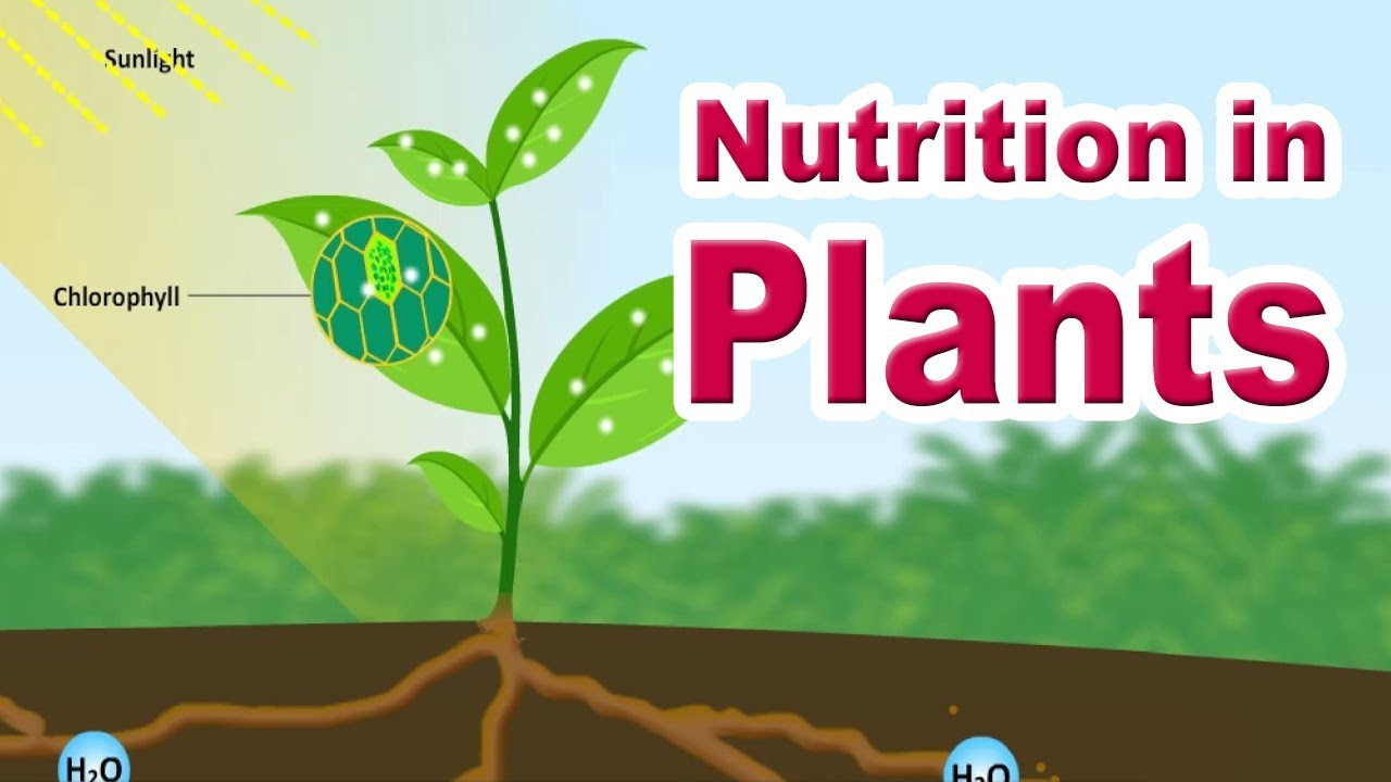 Nutrition In Plants Autotrophic Nutrition Photosynthesis Educational Videos Youtube