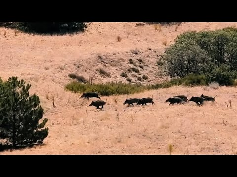 BEST WILD BOAR HUNTS IN SUMMER 2021 – EN İYİ DOMUZ AVLARI