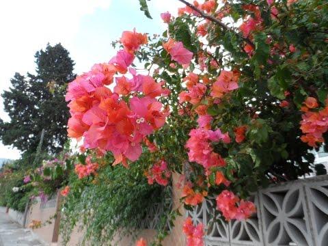 Мое утро, лантана, подранея, жасмин, бугенвиллия, церцис, природа Испании, Андалусия, 24/09/2015