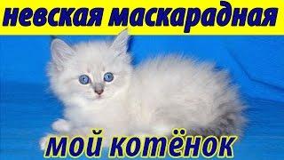Невская маскарадная кошка. Мой котенок