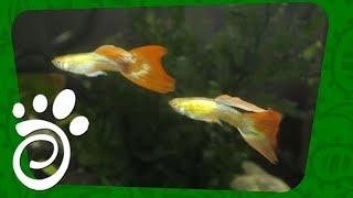 Выставка Рыбок Гуппи. Все О Домашних Животных