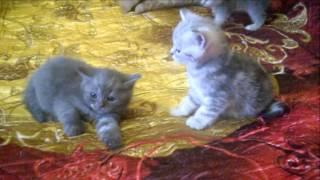 Шотландские котята Хайленд и Скоттиш фолд.