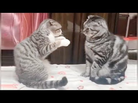 CAT BOXING - Impossible TRY NOT TO LAUGH compilation