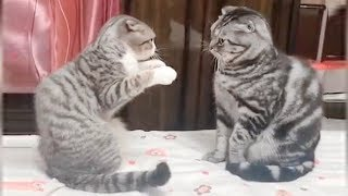 CAT BOXING  Impossible TRY NOT TO LAUGH compilation
