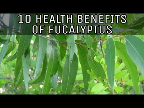 10 HEALTH BENEFITS OF EUCALYPTUS