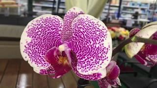 Улётный завоз орхидей в Бауцентры 14 сентября 2019г. Дикий Кот, Клеопатра, Чармер, Мукалла и др)