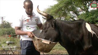 Le jeune citadin éleveur de vaches