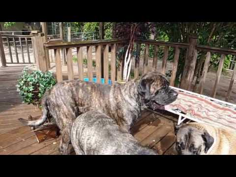 English Mastiff Twist & Shout in Slow Motion!