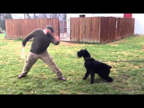 """Giant Schnauzer """"Duke"""" Personal Protection Obedience Trained Home Guardian For Sale"""
