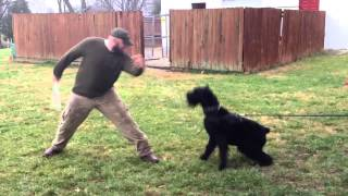 "Giant Schnauzer ""duke"" Personal Protection Obedience Trained Home Guardian For Sale"