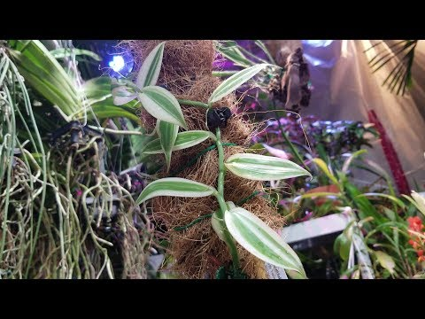 Variegated Vanilla Planifolia! Vining Vanilla Bean Orchid Beauty!