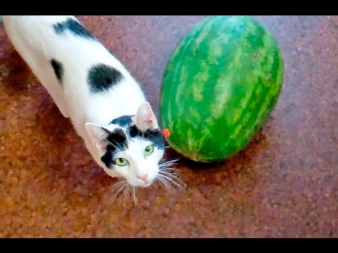 Cute Cat & Watermelon video |How does a cat play with Watermelon?
