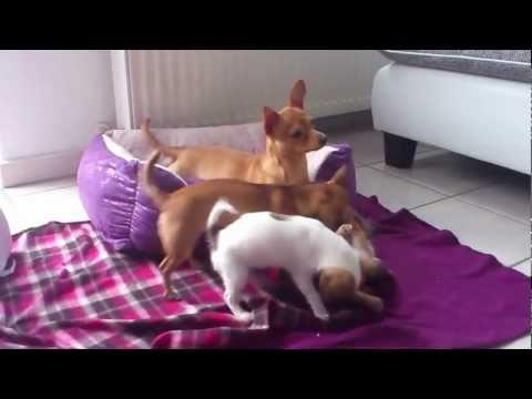 Ein Chihuahua bleibt selten allein.mp4