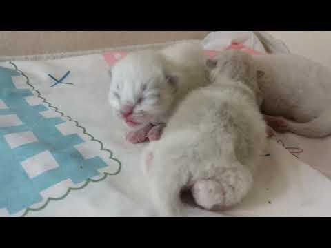 Newborn kittens hissing
