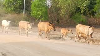 Cow Raising in Rural Area in Cambodia