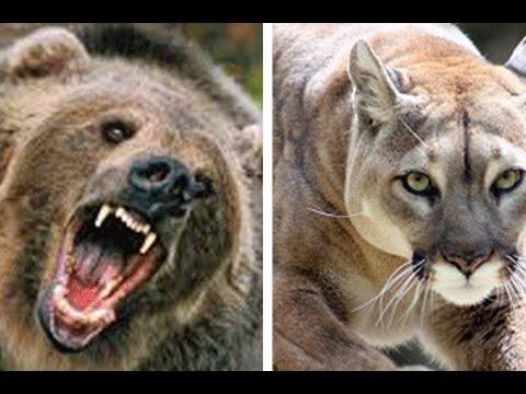 różne wzornictwo klasyczne dopasowanie spotykać się Bear Vs Puma Attack: Who will win?