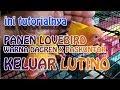 PANEN LOVEBIRD WARNA DAGREN X PASKUNTOR KELUAR LUTINO || LOVEBIRD farm