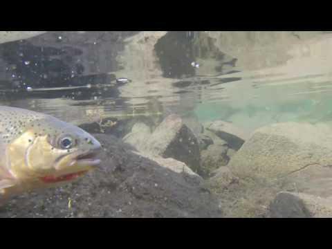Picklejar Lakes Fly Fishing, Kananaskis