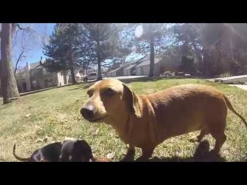 Cute Adorable Celebrity Dachshunds of Colorado - Dachshunds -Dachshund Puppy Playing - Sausage