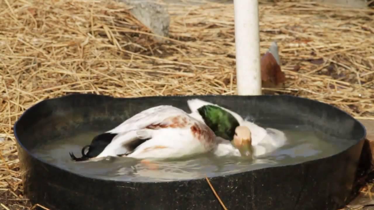 duck breeding - Duck Breeds