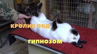 Как загипнотизировать кролика