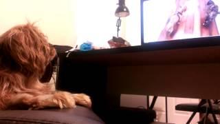 Cavalier King Charles Spaniel Dog Watching Animals On Computer Screen