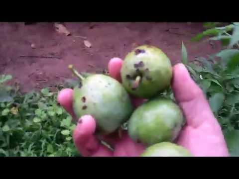 KÝ SỰ RỪNG XANH - Vô tình gặp được loại quả quý trốn kín trong rừng già