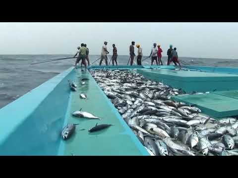 Tuna Fishes' Suffering In 'Pole And Line' Fishing