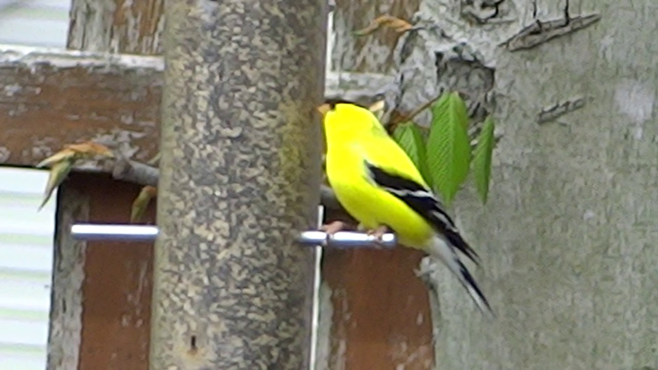 New jersey state bird yellow finch youtube new jersey state bird yellow finch biocorpaavc