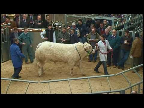"""Charolais Bull Sale held at Stirling Agricultural Centre  """"Perth Bull Sales"""" - February 2011"""