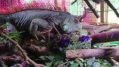 Iguaani syö kukkia, Green Iguana eats flowers