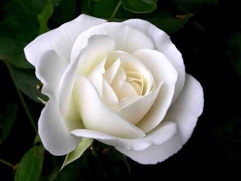 Valkea Ruusu