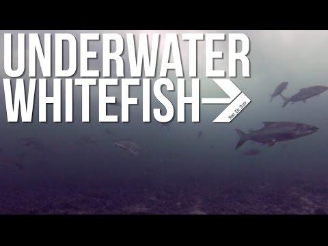 Whitefish Underwater GoPro Footage | Lake Michigan, Door County, WI