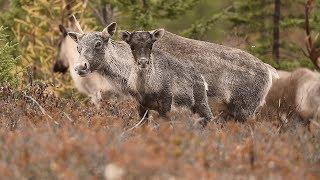 La communauté Anishnabe passe à l'action pour sauver le caribou