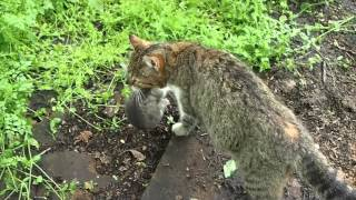 кошка перетаскивает котят из-под дров в дом, весна, птички поют